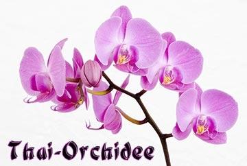 Thai-Orchidee